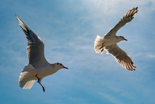 Seagull In Flight Against Blue...