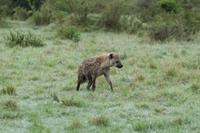Spotted Hyena In The African S...