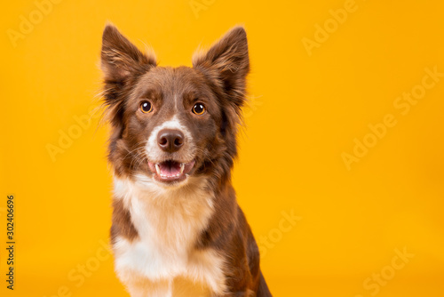 Fényképezés Red and white border collie on yellow background