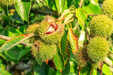 Chinese Chestnut Fruit Grow On Tree
