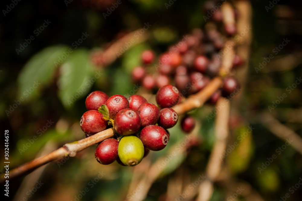 Fototapety, obrazy: fresh cherry coffee bean on tree branch