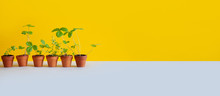 6 Flower Pots With Young Sprouts Sprigs Of Wild Strawberry And Thyme. Garden Plants With Green Leaves In Brown Clay Pots. Gardening Breeding Background. Yellow Gray Backdrop. Copy Space.