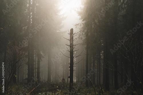 swiatlo-sloneczne-w-lesie-swierkowym