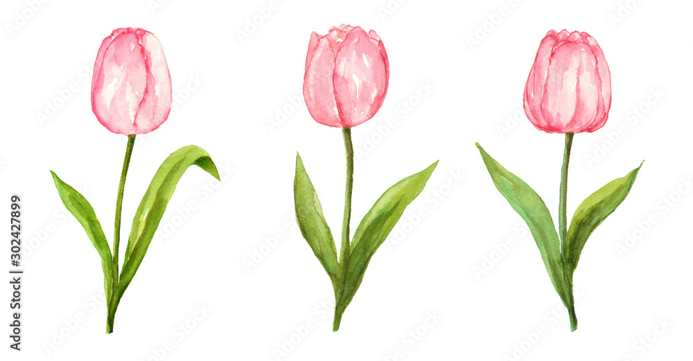 Fototapety, obrazy: Pink tulip watercolor painting flower set on isolated white background hand painted elements for card, wall art, clip art or your design