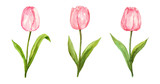 Fototapeta Tulipany - Pink tulip watercolor painting flower set on isolated white background hand painted elements for card, wall art, clip art or your design