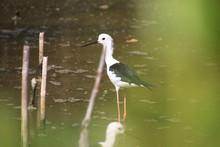 Black Necked Stilt Bird In Man...