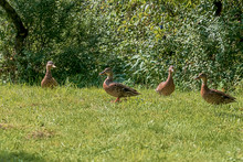 A Family Of Four Ducks Walking...