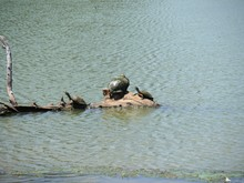 Turtles Sunning On A Tree Stump Protruding Above The Water In A Pond