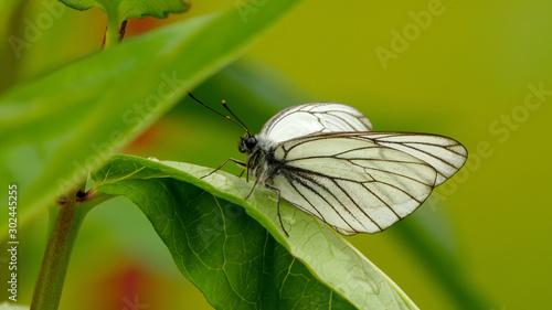 Aporia crataegi butterfly Canvas Print