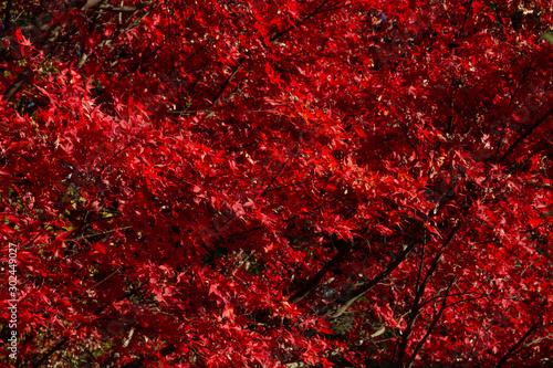 Foto auf AluDibond Violett rot Red maple leaves background in autumn