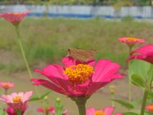 Brown Butterflies Stop In Flow...