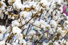 White Soft Cotton On The Field...