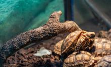 Terrestrial Turtle In Terrarium.