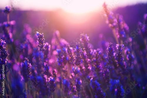 Montage in der Fensternische Violett Lavender flowers at sunset in Provence, France. Macro image, shallow depth of field. Beautiful nature background