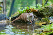 Hungry Otter At Feeding By The...