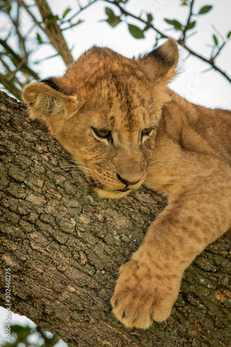 Tela Close-up of young lion cub in tree