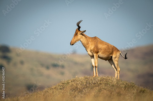Photo Coke hartebeest stands on mound in profile