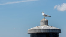 Sea Gull Standing On A Piling ...