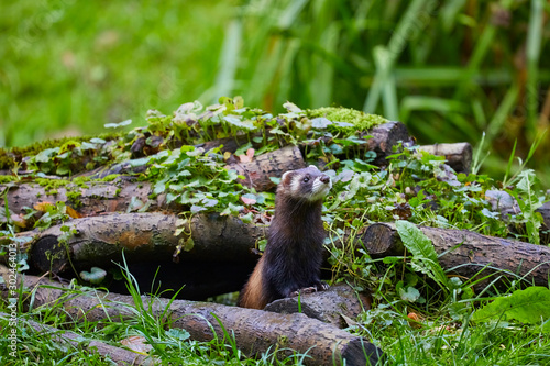 Fototapeta Cute polecat waiting for the feeding