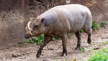 A Babirusa Wild Pig Walking