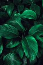 The Concept Of Leaves Of Cannifolium Spathiphyllum, Abstract Dark Green Surface