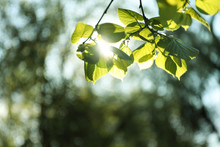 Tree Branches With Green Leaves On Sunny Day
