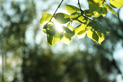 Fototapeta Tree branches with green leaves on sunny day