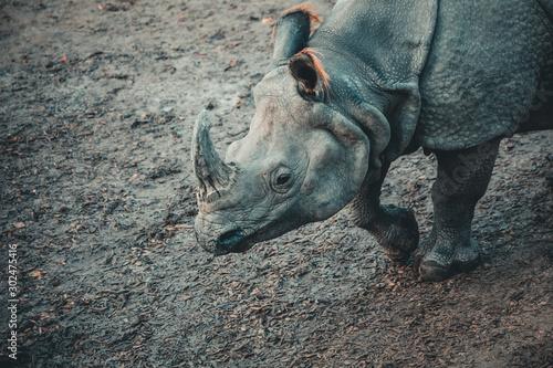 Fotografía Dirty rhino on the muddy ground of a zoo