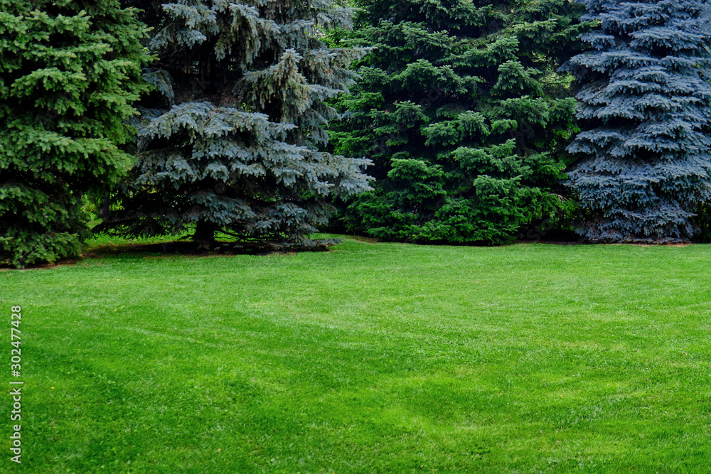Fototapety, obrazy: Green spruce and lawn with grass, copy space. Glade with Christmas trees with a place under the text