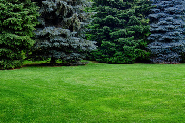 Green spruce and lawn with grass, copy space. Glade with Christmas trees with a place under the text