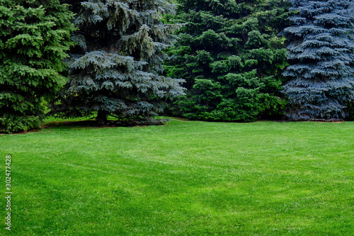 Autocollant pour porte Jardin Green spruce and lawn with grass, copy space. Glade with Christmas trees with a place under the text