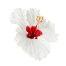 Beautiful Tropical Hibiscus Flower Isolated On White