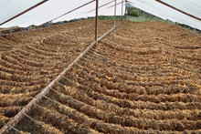 Traditional Tobacco Drying In Tent