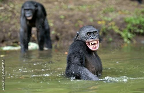 Smiling Bonobo in the water. Bonobo in the water with pleasure and smiles.  Bonobo (Pan paniscus). Democratic Republic of Congo. Africa #302487430