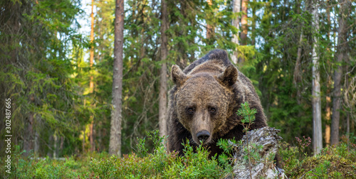Adult male of brown bear at autumn forest. Front view. Natural habitat. #302487665