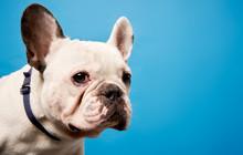 White French Bulldog On Empty Blue Background