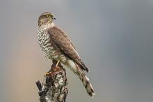 Sparrow Hawk (Accipiter Nisus) Female