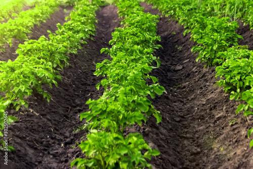 Obraz Green field of potato crops in a row - fototapety do salonu