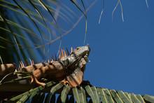 A Green Iguana In A Palm Tree ...
