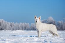 White Swiss Shepherd Dog Standing Outdoors In Winter