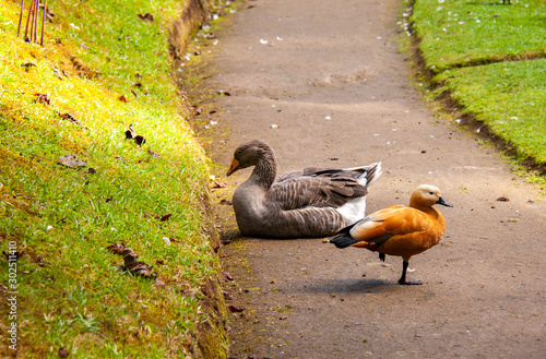 Goose and ruddy shelduck on the walkway in Terra Nostra Garden, Furnas, Sao Migu Canvas Print
