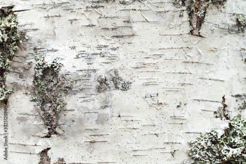 White birch tree bark with lichen growing on it Canvas Print