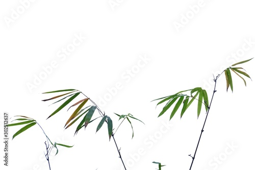 Asian bamboo plant with leaves branches on white isolated background for green f Fototapeta