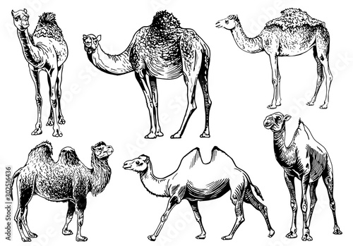 Photographie Graphical set of camels isolated on white background,vector sketchy illustration