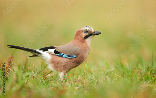 Cuadros en Lienzo Eurasian jay (Garrulus glandarius) close up