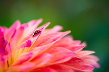 Asian Lady Beetle (Harmonia Ax...