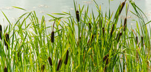 Typha Growing In The Pond On S...