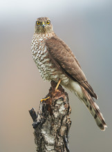 Sparrow Hawk (Accipiter Nisus) Female
