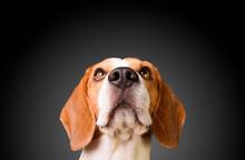 Beautiful Beagle Dog Isolated On Black Background. Studio Shoot. Looking Up, Headshoot Portrait