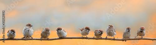 Obraz na płótnie panoramic portrait of small funny birds sparrows restlessly sitting on a tree br